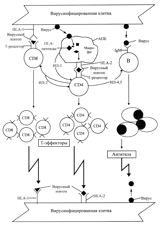 Hla-Система фото